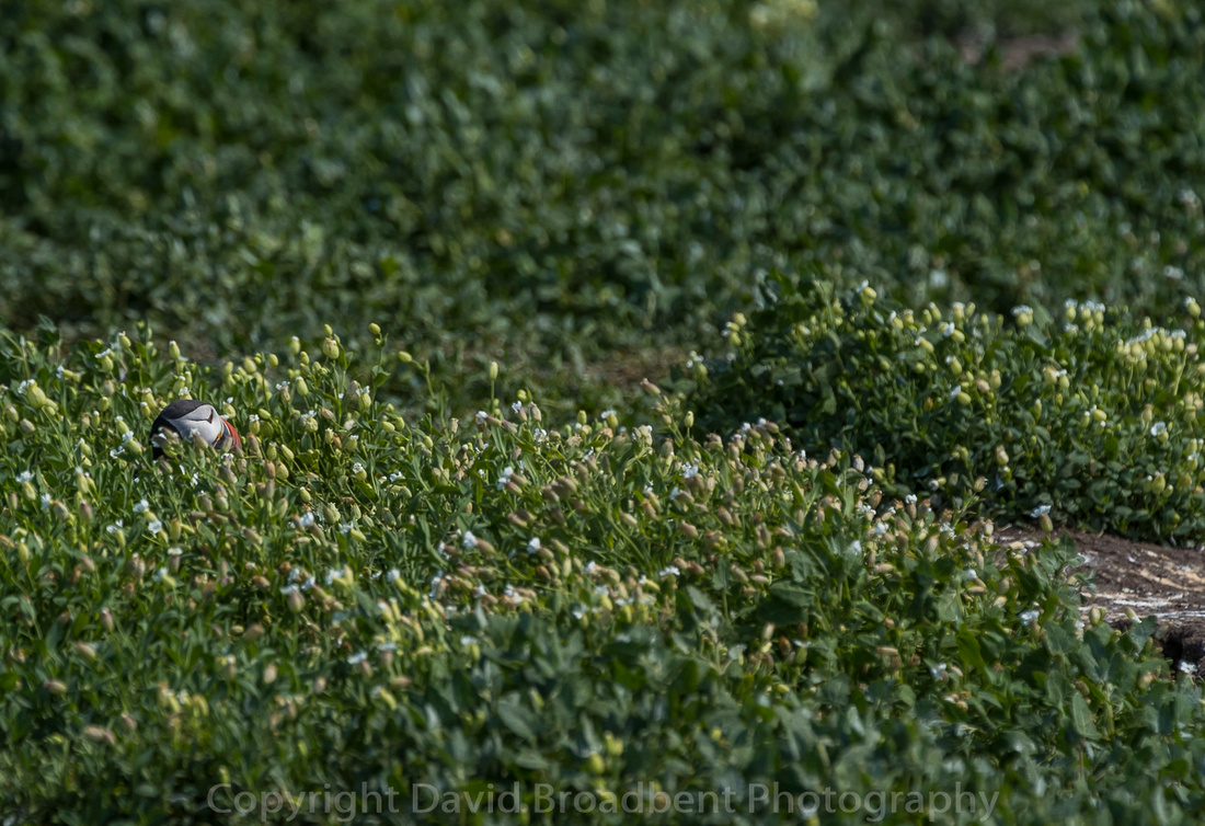 David Broadbent Photography, Farne Islands, copyrighted image, Puffin,
